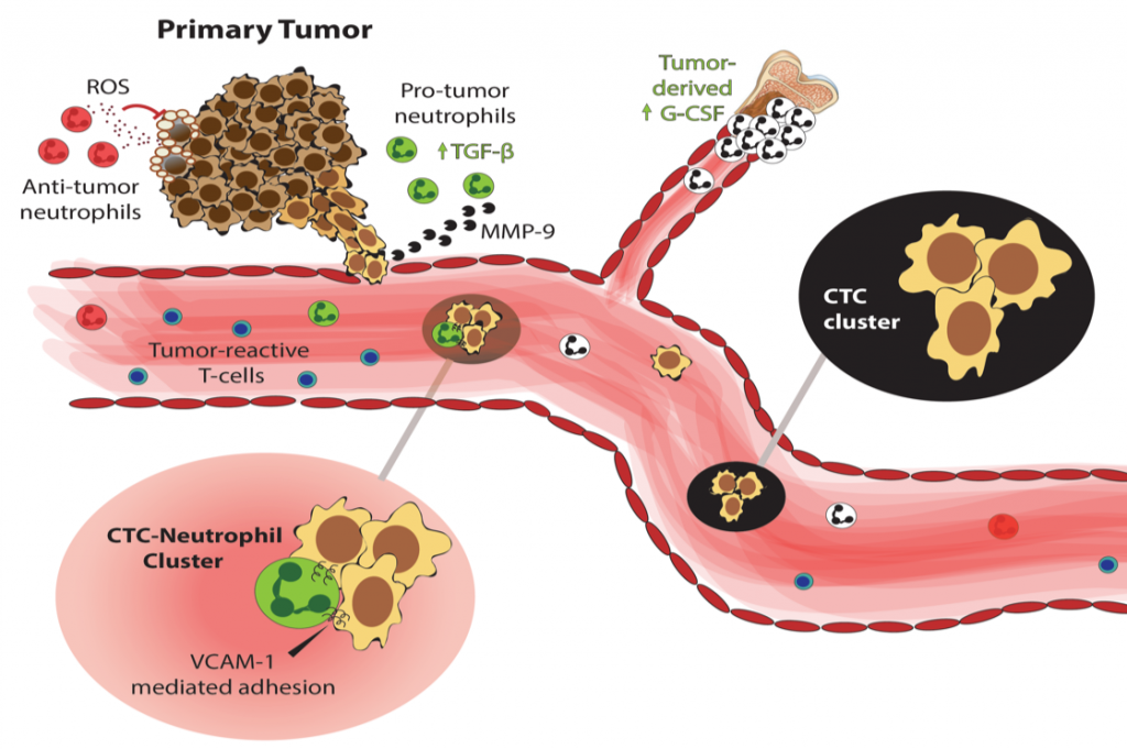 Fig.2 CTC clusters and CTC-neutrophil clusters depart from the primary tumor, on their way to metastasis. Source: Saini, Szczerba and Aceto, Cancer Res, 2019